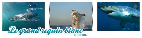 _______» ARTICLE N°37 : LE GRAND REQUIN BLANC_______ » Posté le 02 Janvier 2010 » Faune-world.skyblog.com