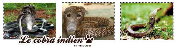 _______» ARTICLE N°13 :LE COBRA INDIEN_______ » Posté le O9 Août 2009 » Faune-world.skyblog.com