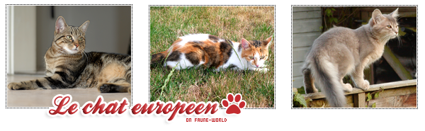 _______» ARTICLE N°16 :LE CHAT EUROPEEN_______ » Posté le 26 Août 2009 » Faune-world.skyblog.com