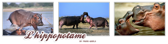 _______» ARTICLE N°44 :L'HIPPOPOTAME_______ » Posté le 18 Février 2010 » Faune-world.skyblog.com