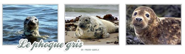 _______» ARTICLE N°54 :LE PHOQUE GRIS_______ » Posté le 15 Avril 2010 » Faune-world.skyblog.com