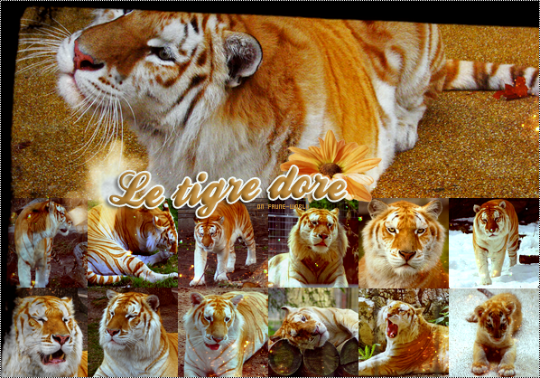 _______» Article n°72 : LE TIGRE DORE_______ » Posté le 03 Août 2010 » Faune-world.skyblog.com