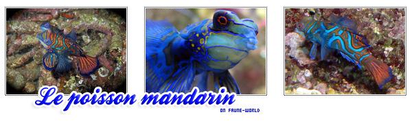 _______» Article n°67 : LE POISSON MANDARIN_______ » Posté le 08 Juillet 2010 » Faune-world.skyblog.com