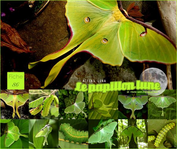 _______» ARTICLE N°94 :LE PAPILLON LUNE_______ » Posté le 05 Septembre 2011 » Faune-world.skyblog.com