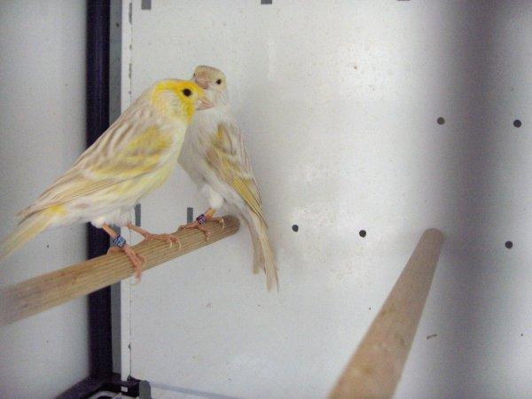 satiné mos/jaune
