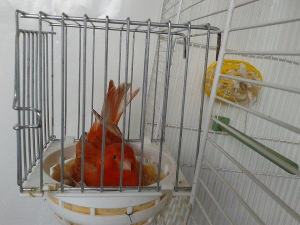 une magnifique canaris