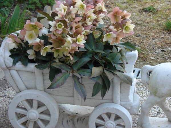 Mes roses de Noêl sur ma terrasse