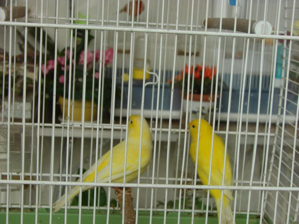 couple de canaris jaune