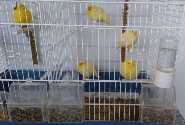 4 petits sont de mon couple jaune,les voici à 37 jours je suis ravie......
