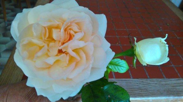 Une magnifique rose de mon jardin, j'adore...