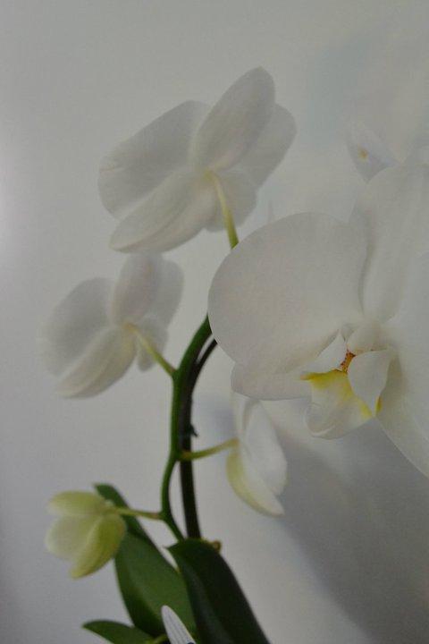 Nikon D3100 Orchidées Blanches Nikon D3100