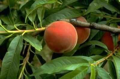 ton fruit préferer
