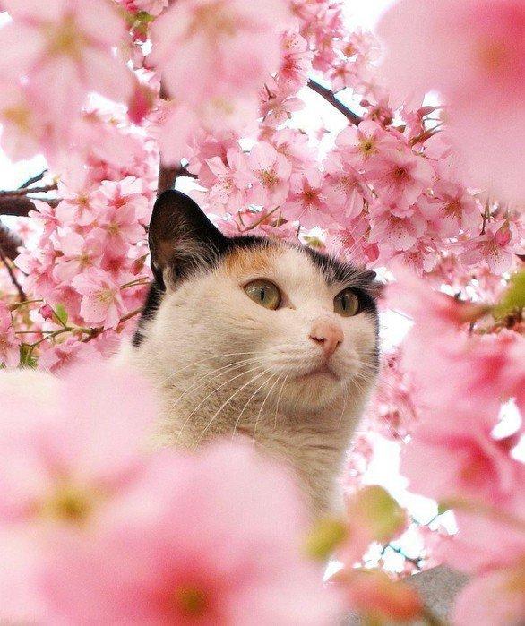 Panier Fleur Pour Chat : Coeur photo de chat dans un cerisier en fleurs et