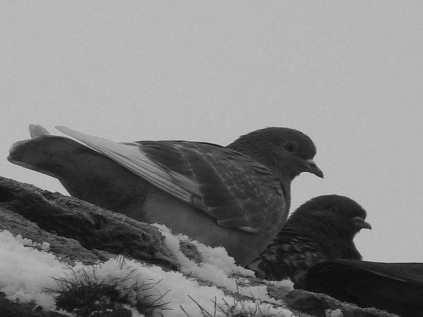 pigeon  !