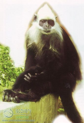 White-headed Leaf-monkey