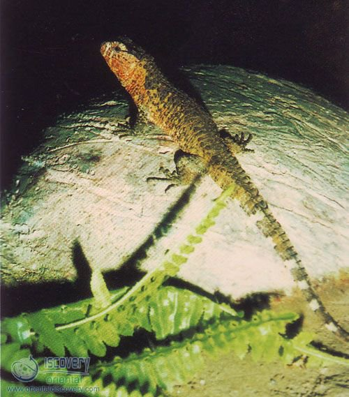 Chinese Crocodilian Lizard