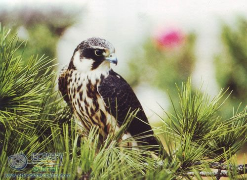 Northern Hobby