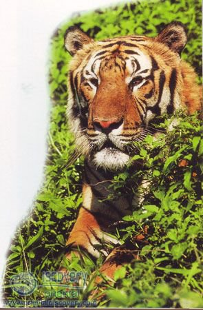 South China Tiger