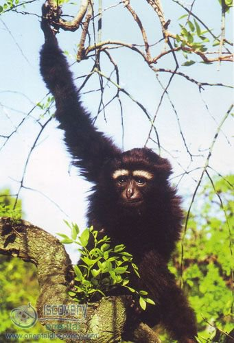 Hoolock Gibbon; White Browed Gibbon