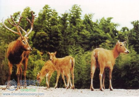 David's Deer