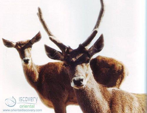 Thorold's Deer; White-lipped Deer