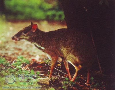 Lesser Malay Chevrotain