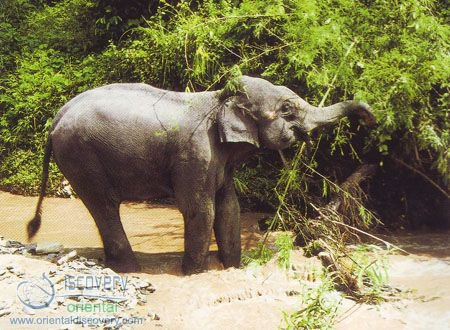 Asiatic Elephant; Indian Elephant