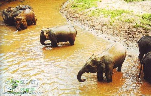 Asiatic Elephant; Indian Elephant