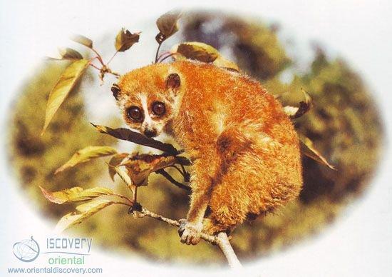 Pygmy Loris