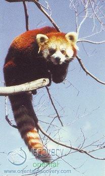 Lesser Panda; Red Panda