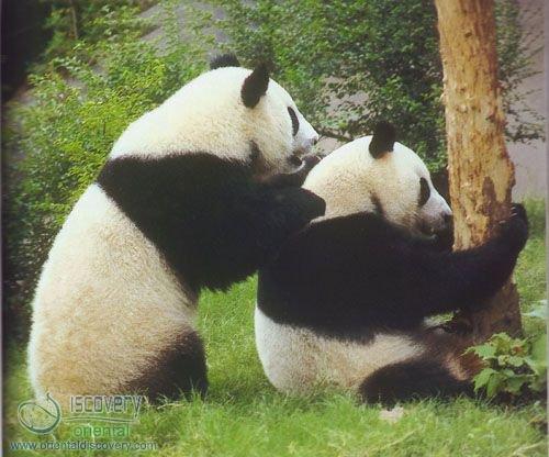 Giant Panda; Bamboo Bear