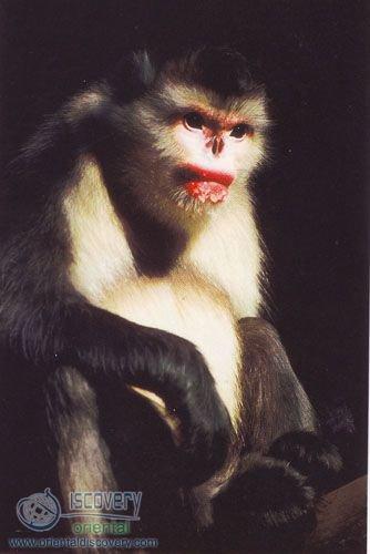 Yunnan Snub-nose Monkey