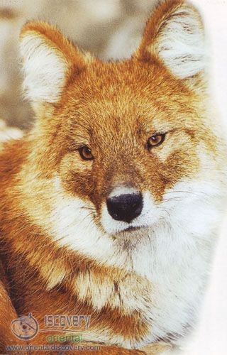 Dhole; Asiatic Wild Dog; Red Dog