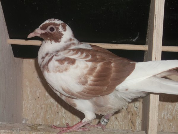 pigeon choco