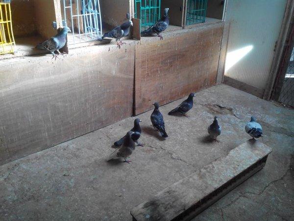 Pigeonnier d'éleveurs