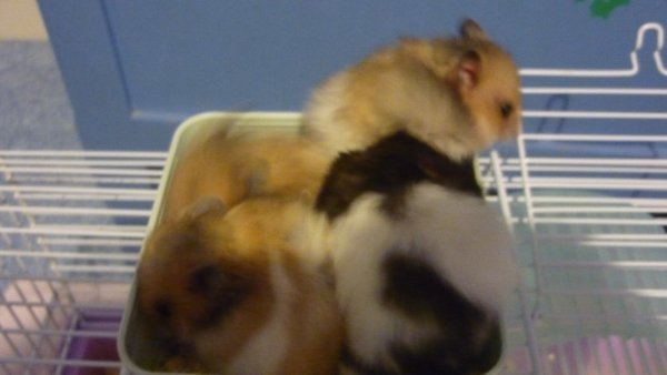 Petits Hamsters deviendra grand !!!
