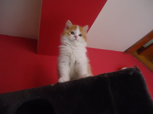 male british longhair roux et blanc 9 semaines disponible