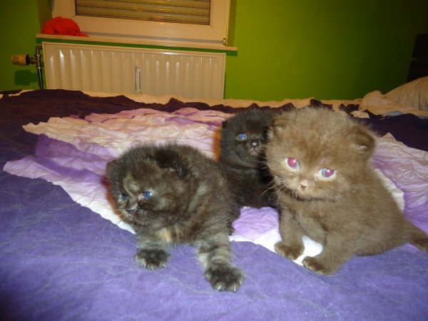 chatons de Gwen 3semaine a réservée 1 males chocolat 2femelles scottish