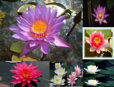 Le lotus sacr ma religions le bouddhisme - Fleur de lotus bouddhisme ...