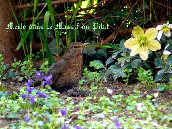 SUITE le MERLE de mon Jardin (Pilat)