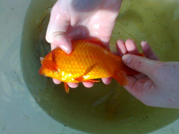 Gros poisson rouge levage de poules canards et lapins for Gros poisson rouge