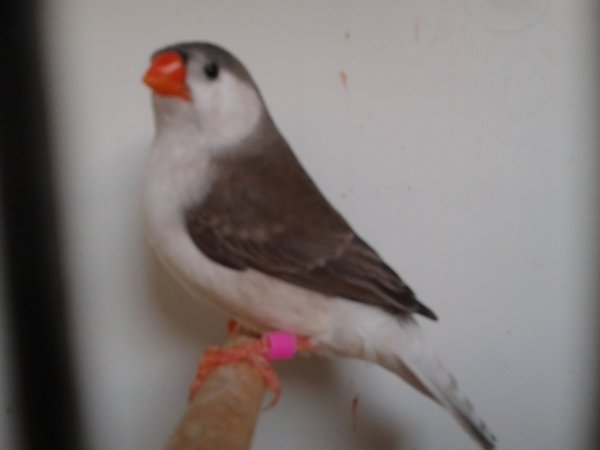 jeune femelle 2012 gris poitrine blanche