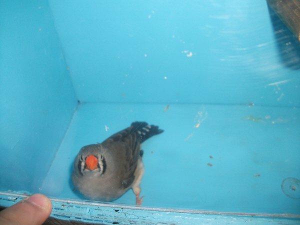 mandarin gris femelle