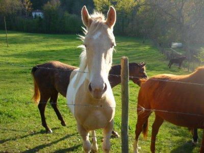 Quels sont les difference entre le mulet et le cheval ?