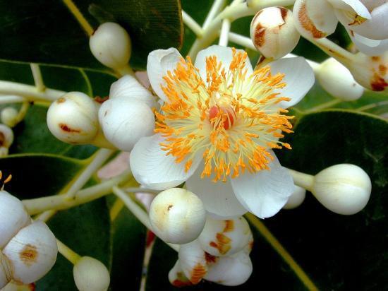 j'y reviens mais...L'huile de calophylle inophylle (Calophyllum inophyllum) c'est l'huile végétale à avoir dans sa pharmacie car :