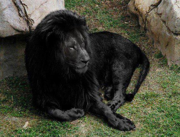 "How many ""Likes"" for this rare black lion believed to be the last of its kind. ?"