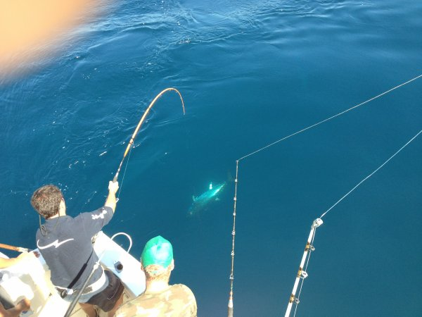 dauphins et thon rouge