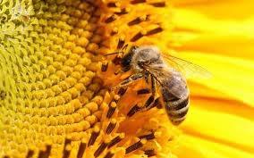 Les abeilles pollinisation des vies naturelles