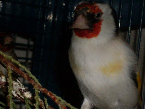 nid chardonneret intermediaire deuxieme mal major sur femelle parva