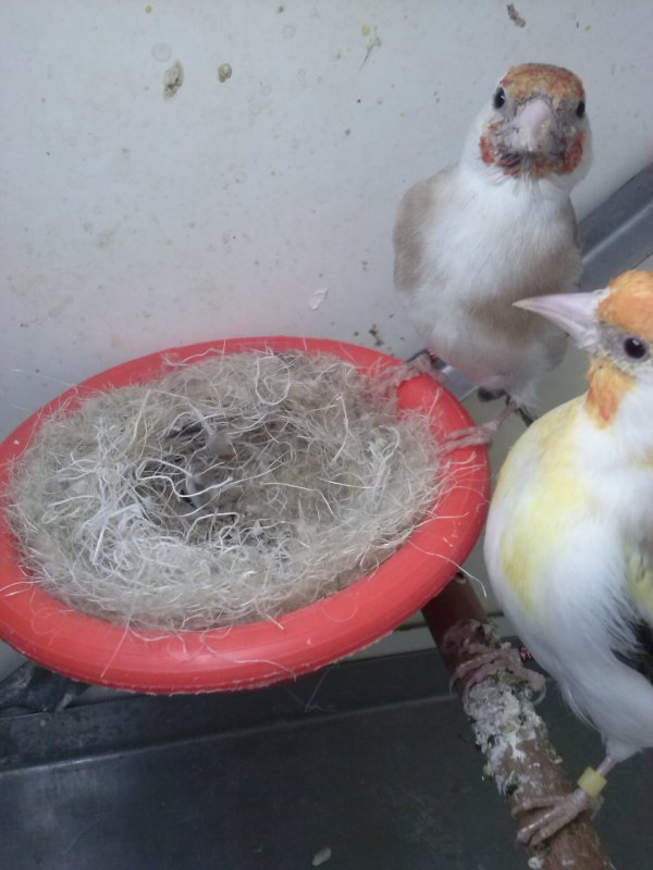 male brun tete blanche/satinet et femelle pastell